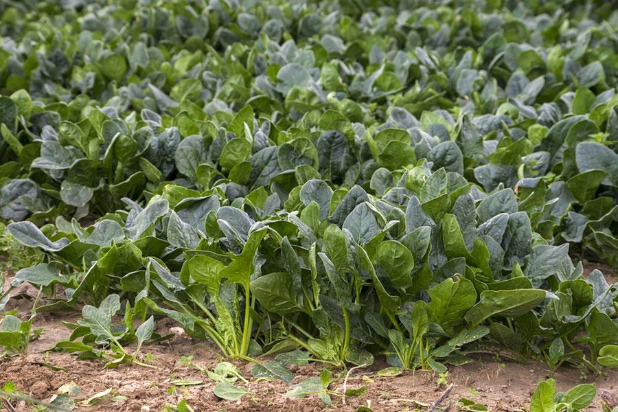 Green Spinach farming field